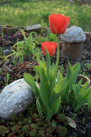 red tulips on a bad in a garden photo