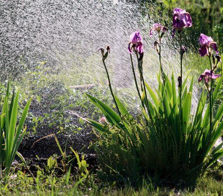 Sprinklers watering a beautiful garden