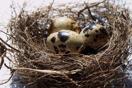 Birds nest with eggs photo