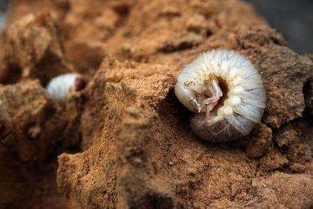 dung: big larva of may-bug in dung Stock Photo