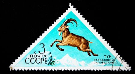 A stamp printed in the USSR shows West Caucasian Tur (Capra caucasica), one stamp from series, circa 1973 photo