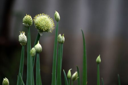 Flowering onion in a garden Stock Photo - 7510667