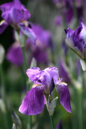 irises on bed photo