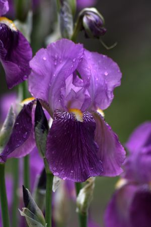 iris with drops photo