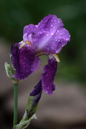 flower photos: iris under the rain drops