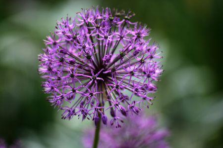 Flowering onion in a garden  photo