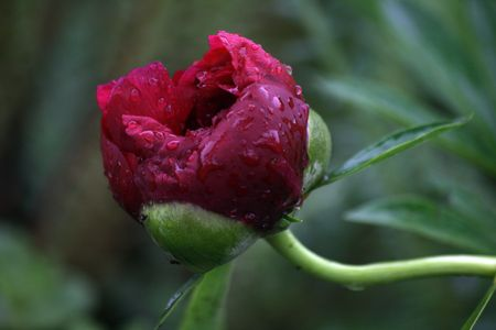 nascent: peony with rain drops Stock Photo