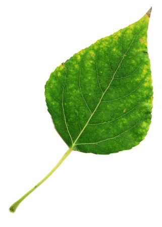 poplar leaf, touched by the autumn yellow, isolated on a white background