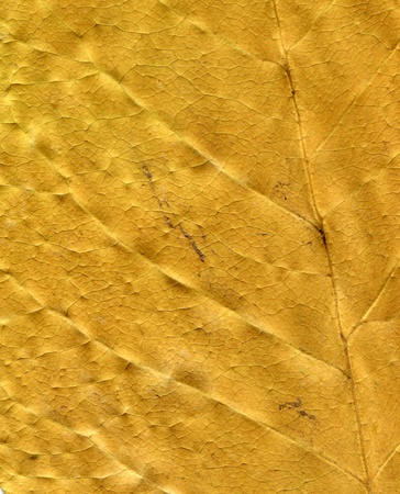 tobacco plants: Dried leaf; fine details and very high-res for backgronds.
