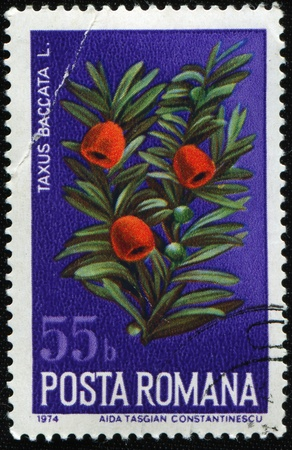 ROMANIA - CIRCA 1974: A stamp printed in Romania shows common yew, or European yew - Taxus Baccata L., circa 1974 Stock Photo - 8381333