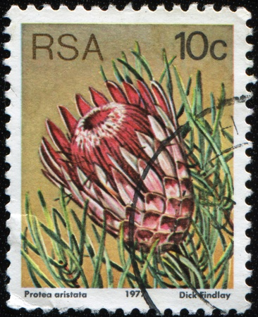 SOUTH AFRICA - CIRCA 1977: A stamp printed in South Africa shows Protea aristata, circa 1977 photo