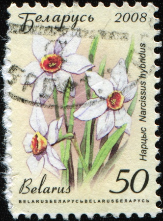 BELARUS - CIRCA 2008: A stamp printed in Belarus shows Narcissus hybridus, circa 2008 Stock Photo - 8776970