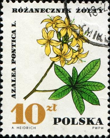 POLAND - CIRCA 1967: A stamp printed in Poland shows azalea pontica, series, circa 1967  photo