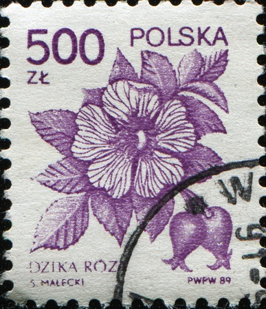 POLAND - CIRCA 1989: stamp printed in Poland shows Rosa canina commonly known as the dog rose, circa 1989 photo