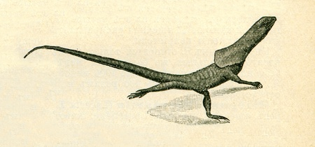 publishers: frill-necked lizard - Chlamydosaurus kingii - an illustration of the encyclopedia publishers Education, St. Petersburg, Russian Empire, 1896