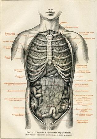 engraver: Organi interni di un essere umano - illustrazione della educazione enciclopedia editori, San Pietroburgo, Impero Russo, 1896