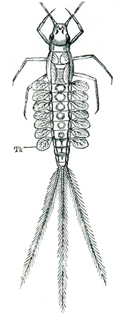 publishers: larva Mayflies (Latin: Ephemeroptera - from the Greek �ephemeron� - fleeting, soon passes, and �ptera� - wing) with 7 pairs of trachea gills - an illustration of the encyclopedia publishers Education, St. Petersburg, Russian Empire, 1896