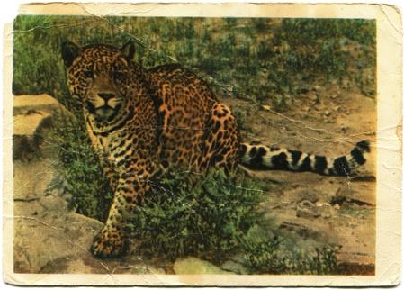 Jaguar, 1959