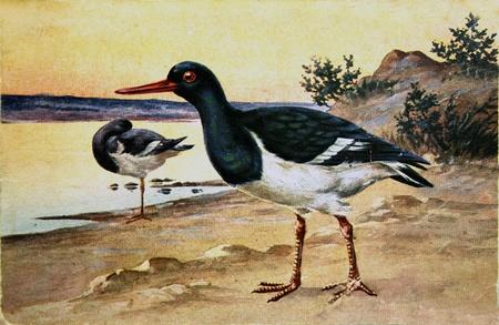 eye catcher: SWEDEN - CIRCA 1920: Postcard printed in Sweden shows Eurasian Oystercatcher - Haematopus ostralegus,circa  1920