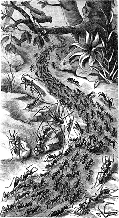 engraver: column of ants on the march - an illustration of the encyclopedia publishers Education, St. Petersburg, Russian Empire, 1896