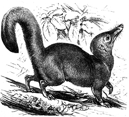 publishers: Large Treeshrew - Tupaia tana - an illustration to article  Editorial