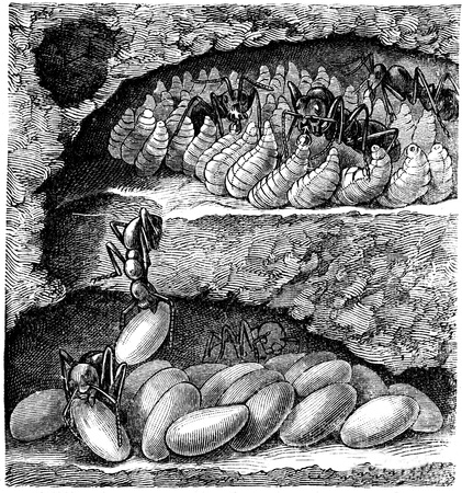 publishers: individual ant nest chamber, at the top of the larvae are feeding - an illustration of the encyclopedia publishers Education, St. Petersburg, Russian Empire, 1896