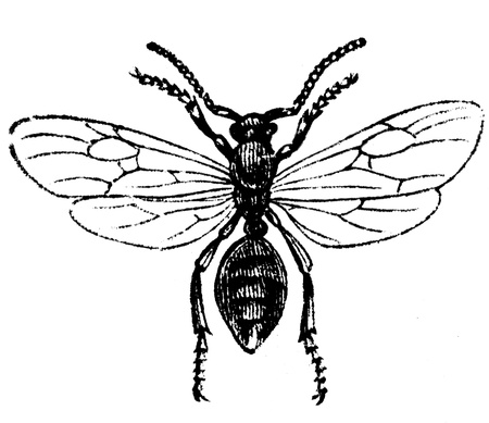 publishers: male ant - an illustration of the encyclopedia publishers Education, St. Petersburg, Russian Empire, 1896