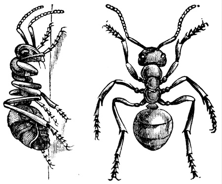 encyclopedia: worker ants - an illustration of the encyclopedia publishers Education, St. Petersburg, Russian Empire, 1896  Editorial