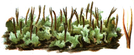 laevis: Anthoceros laevis - an illustration to article  Editorial