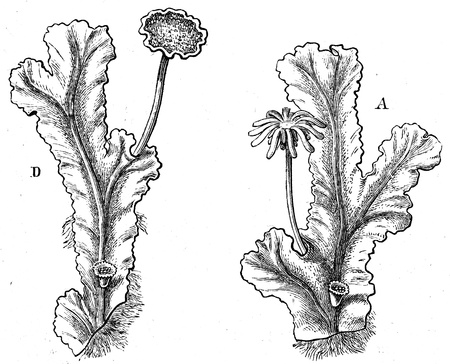 publishers: Marchantia polymorpha - an illustration to article