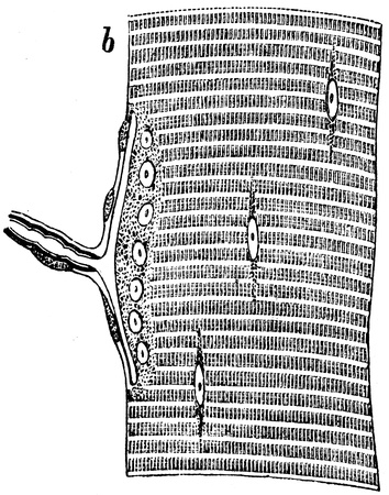 publishers: smooth muscles of the lizard - an illustration of the encyclopedia publishers Education, St. Petersburg, Russian Empire, 1896  Editorial