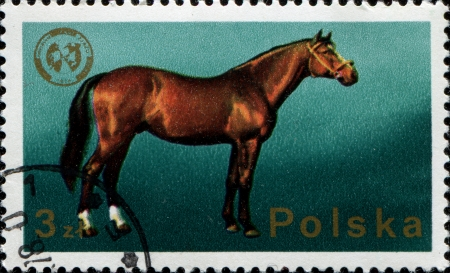 POLAND - CIRCA 1975  A stamp printed in POLAND shows Wielkopolska horse, 26th European Zoo-technical Federation Congress, Warsaw series, circa 1975