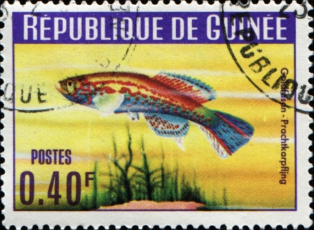 guinee: GUINEE - CIRCA 1967  A stamp printed in Guinee shows Poisson fish Goldfasan prachtkarpfling, circa 1967 Stock Photo