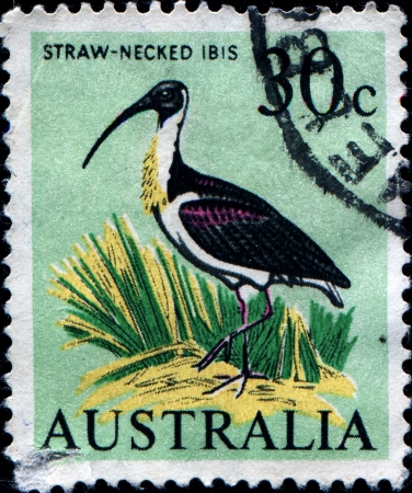 AUSTRALIA - CIRCA 1966  A stamp printed in Australia shows Straw-Necked Ibis - Threskiornis spinicollis, circa 1966 photo