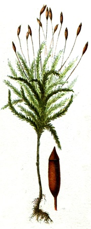 publishers: Climacium dendrodes - an illustration to article  Mosses  of the encyclopedia publishers Education, St  Petersburg, Russian Empire, 1896