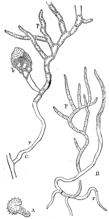 publishers: germinating seedlings, and the dispute and, embryo stem moss - an illustration to article  Mosses  of the encyclopedia publishers Education, St  Petersburg, Russian Empire, 1896