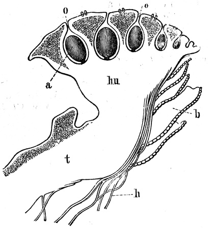 publishers: Longitudinal section of Marchantia - an illustration to article  Mosses  of the encyclopedia publishers Education, St  Petersburg, Russian Empire, 1896