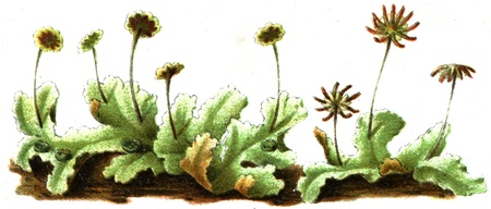 publishers: Marchantia polymorpha - an illustration to article  Mosses  of the encyclopedia publishers Education, St  Petersburg, Russian Empire, 1896  Editorial