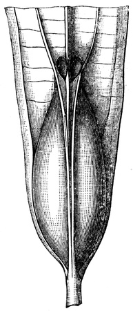 swelling: swelling at the bottom of leaf Tococa lancifolia Spruce - an illustration of the encyclopedia publishers Education, St  Petersburg, Russian Empire, 1896  Editorial