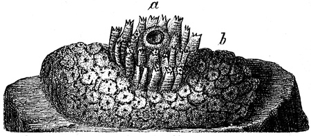 publishers: Amaroecium densum - an illustration to article  Flabby and tunicates of the encyclopedia publishers Education, St  Petersburg, Russian Empire, 1896