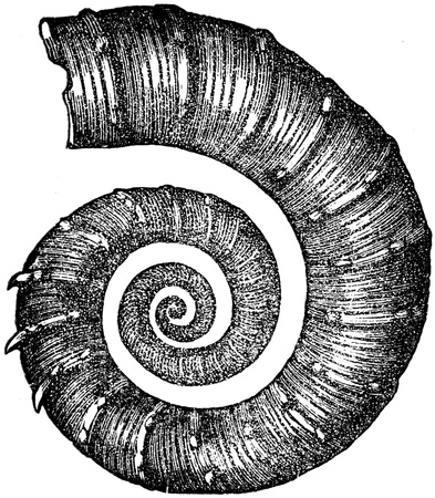publishers: ammonite  Crioceras Duvali - an illustration to article  Cretaceous of the encyclopedia publishers Education, St  Petersburg, Russian Empire, 1896 Editorial