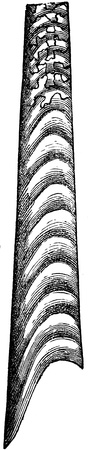 publishers: ammonite Baculites anceps - an illustration to article  Cretaceous of the encyclopedia publishers Education, St  Petersburg, Russian Empire, 1896