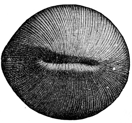 publishers: coral Cyclolites ellipticus - an illustration to article  Cretaceous of the encyclopedia publishers Education, St  Petersburg, Russian Empire, 1896 Editorial
