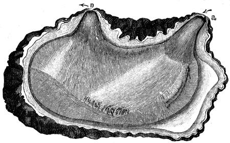 publishers: Cyntia microcosmus - an illustration to article  Flabby and tunicates of the encyclopedia publishers Education, St  Petersburg, Russian Empire, 1896