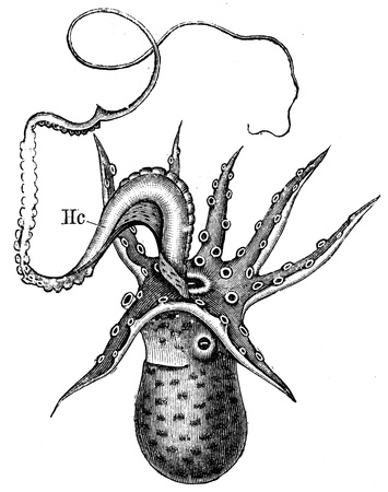 publishers: male of Argonauta argo - an illustration to article  Flabby and tunicates of the encyclopedia publishers Education, St  Petersburg, Russian Empire, 1896