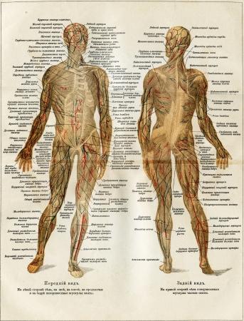 Muskeln Des Menschlichen - Eine Illustration Der Enzyklopädie ...