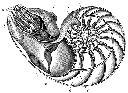 engraver: Nautilus pompilius - an illustration to article  Flabby and tunicates of the encyclopedia publishers Education, St  Petersburg, Russian Empire, 1896