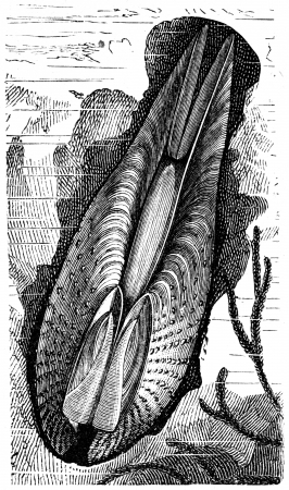 publishers: Pholas dactilus - an illustration to article  Flabby and tunicates of the encyclopedia publishers Education, St  Petersburg, Russian Empire, 1896  Editorial