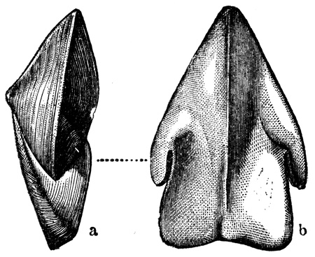 publishers: rhizopods  Rhynchoteuthis Astueriana - an illustration to article  Cretaceous of the encyclopedia publishers Education, St  Petersburg, Russian Empire, 1896 Editorial