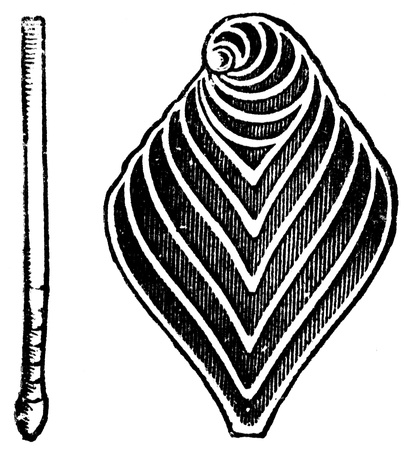publishers: rhizopods Flabellina rugosa - an illustration to article  Cretaceous of the encyclopedia publishers Education, St  Petersburg, Russian Empire, 1896